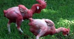 Ayam Tahan Api bahkan dibakar.